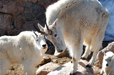 Mount Evans Mountain Goats. Photo by Robertbody/wiki.