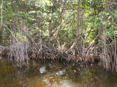 Red mangrove trees along the Buttonwood Canal near Flamingo in Everglades National Park. Photo by Moni3.