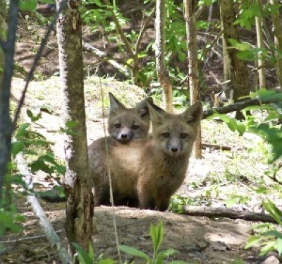 Foxes near trail. Photo by Friends of BLNC.