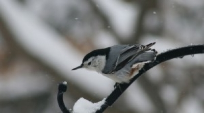 White Breasted Nuthatch. Photo by Friends of BLNC.