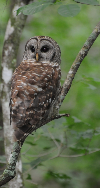Barred Owl perched low over the swamp. Photo by Mark Musselman.