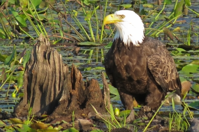 An American Bald Eagle lingering in the Raymond Brook Marsh. Photo by Stan Malcolm.