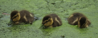 Canada Geese goslings in Duckweed. Photo by Stan Malcolm.