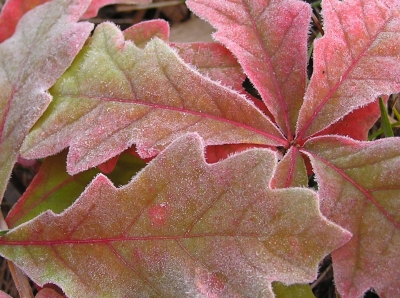 Frosted Oak Leaves. Photo by Stan Malcolm.