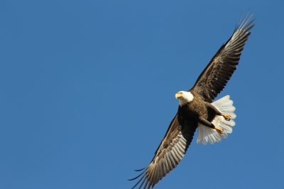 Bald Eagle in flight. Photo by Kimi Smith.