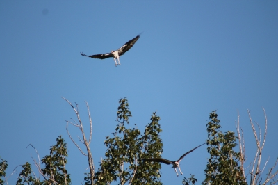 Osprey - what site it sees! Photo by Kimi Smith.