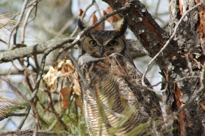 Great Horned Owl. Photo by Kimi Smith.
