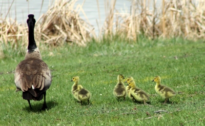 Canadian Goose and goslings. Photo by Kimi Smith.