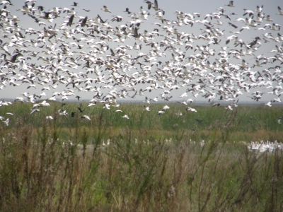 Snow Geese in the Anahuac Wildlife Refuge. Photo by Linda MacPhee-Cobb.