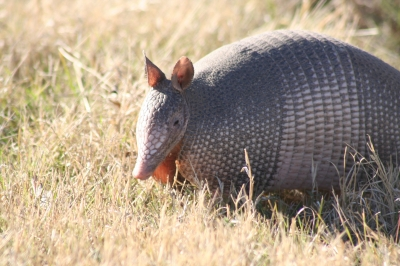 Banded Armadillo. Photo by E. Haskell.