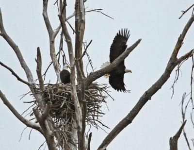 Pair of Bald Eagles nesting. Photo by Carl M. Smith.