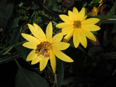 Wild Coreopsis. Photo by Terry Whaley.