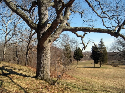 One of the 22 white oak trees known as the Waverly Oaks. Photo by Daderot.