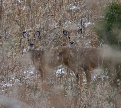 Deer on trail. Photo by Warriors' Path State Park.