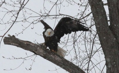 A Bald Eagle perched in a tree along the Kaskaskia