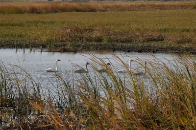 Tundra swans at the refuge. Photo by Colette Guariglia/USFWS.