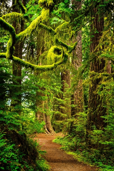 Large mossy spruce trees surround the trail. Photo by Debbie Biddle.