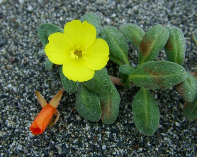 Beach evening primrose. Photo by National Park Service.