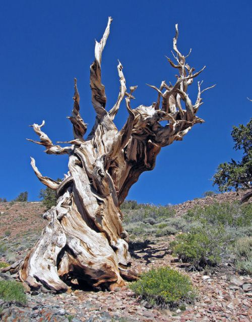 photo: Methusalah National Recreation Trail in California's Inyo State Forest (Photographer: Janet Bargar).