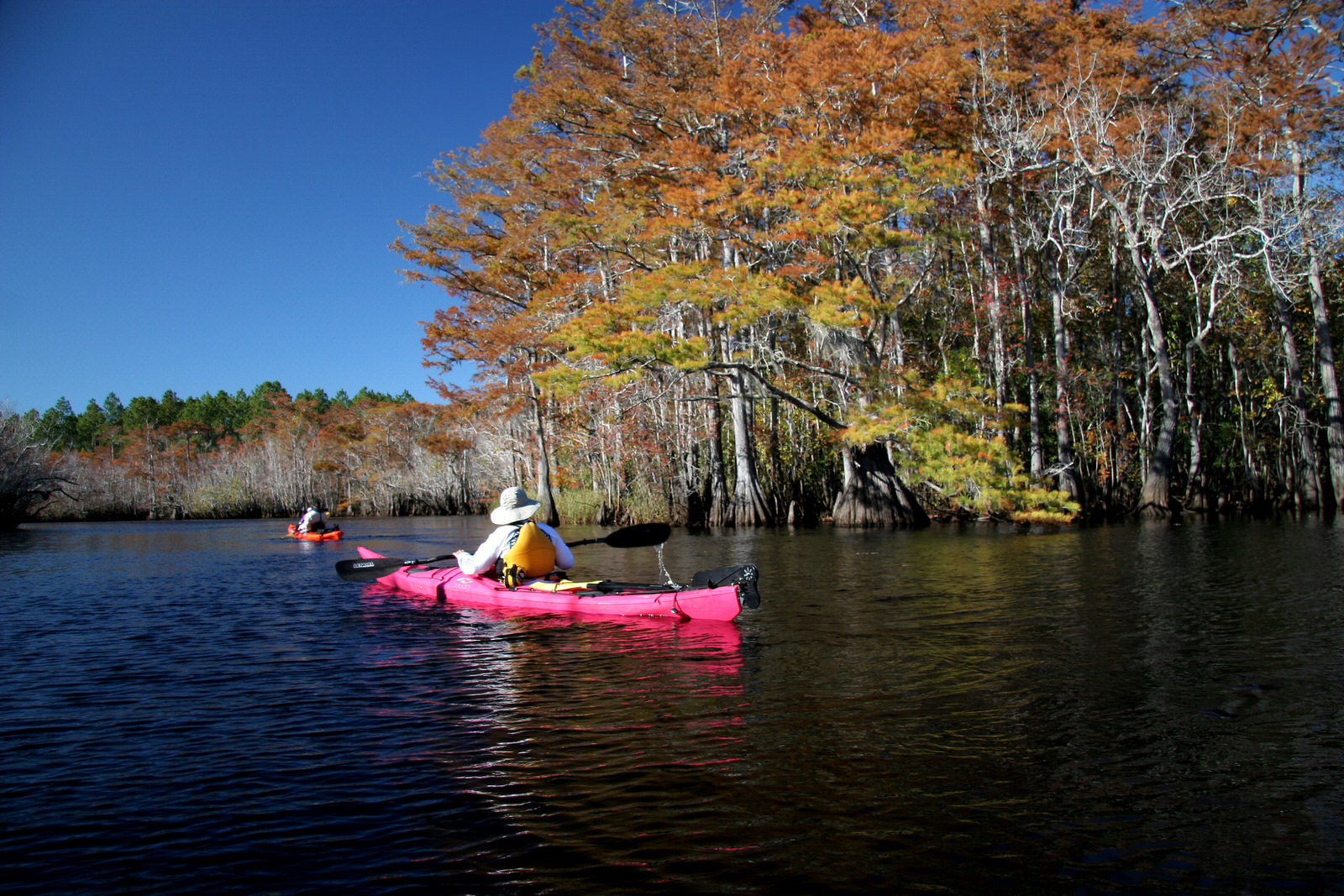 photo: Paddling past golden Cypress on Graham Creek. Photo by Doug Alderson.