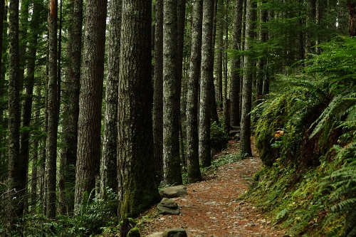 photo: A lush forest surrounds the Mount Si Trail