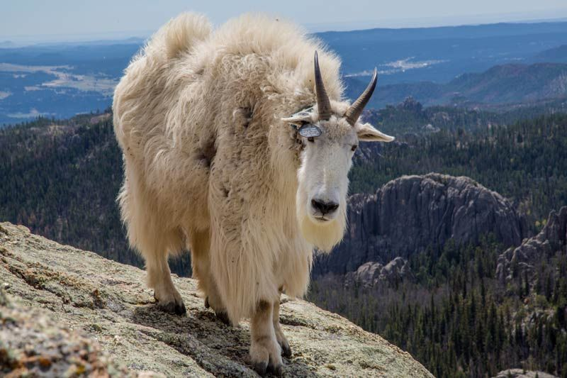 photo: Harney Peak mountain goat along the Lost Cabin National Recreation Trail in the Black Hills of South Dakota; photo by Chris Barn